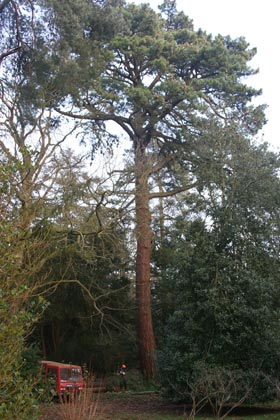 tree before felling starts