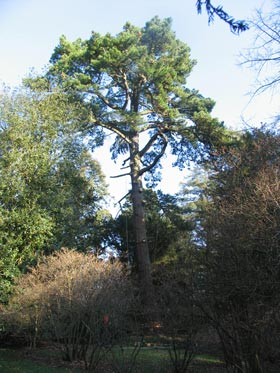 tree with lower limbs removed and ropes in position