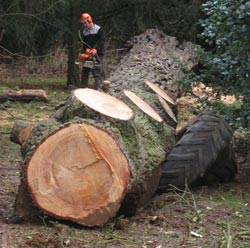 picture of the felled tree